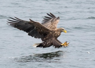 White Tailed Sea Eagle.